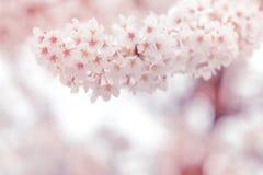 Fleurs de cerisier au printemps avec le foyer mou, fond Photographie stock libre de droits