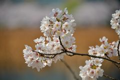 Fleurs de cerisier au printemps 2018 du Japon images stock