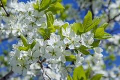 Fleurs de cerisier au printemps en mai image stock
