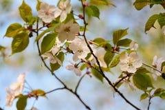 Fleurs de cerisier au printemps en parc Fin vers le haut photos stock