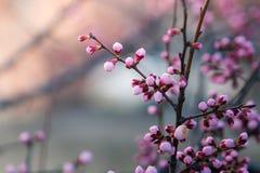 Fleurs de cerisier au printemps, fond Photographie stock