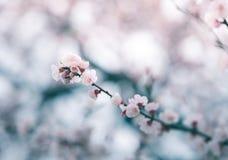 Fleurs de cerisier au printemps, fond Images stock