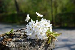 Fleurs de cerisier avec la couleur gentille de fond Image libre de droits