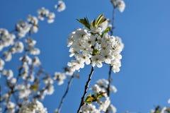 Fleurs de cerisier avec le soleil gentil de couleur de fond Photos stock