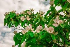 Fleurs de cerisier blanches au printemps contre un ciel bleu Image libre de droits