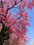 Fleurs de cerisier chinoises Photographie stock