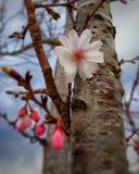 Fleurs de cerisier choisies de foyer Images stock