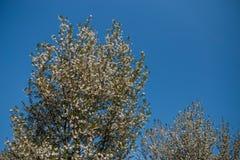 Fleurs de cerisier color?es de Sakura en parc ? Riga, - capitale europ?enne de la Lettonie - rose oriental et couleurs magenta photo libre de droits