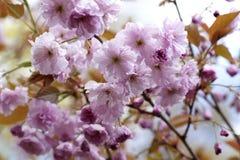 Fleurs de cerisier contre le soleil de matin Image stock