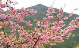 Fleurs de cerisier, correctes ! photo libre de droits