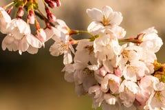 Fleurs de cerisier dès l'abord un matin de sprintime photo libre de droits