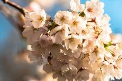 Fleurs de cerisier de début de la matinée en pleine floraison images libres de droits