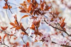 Fleurs de cerisier d'arbre fleurissant Fond coloré de fleur de source Image stock