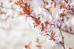 Fleurs de cerisier d'arbre fleurissant Fond coloré de fleur de source Photo stock