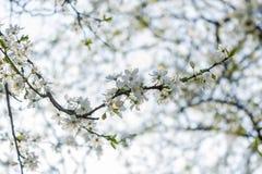Fleurs de cerisier d'arbre fleurissant Fond coloré de fleur de source Photos libres de droits