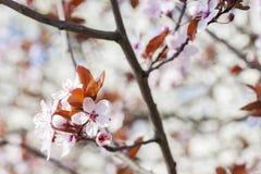 Fleurs de cerisier d'arbre fleurissant Fond coloré de fleur de source Photos stock