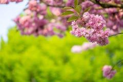 Fleurs de cerisier d'arbre de Sakura Image stock