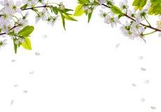 Le cerisier fleurit demi de cadre et pétales en baisse Images stock
