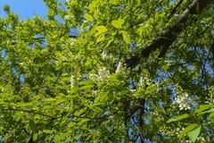 Fleurs de cerisier d'oiseau Image libre de droits