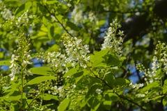 Fleurs de cerisier d'oiseau Photographie stock libre de droits