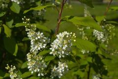 Fleurs de cerisier d'oiseau Photos stock