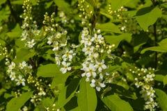 Fleurs de cerisier d'oiseau Photo libre de droits