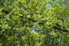 Fleurs de cerisier d'oiseau Images libres de droits