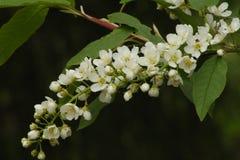 Fleurs de cerisier d'oiseau Fond vert-foncé Image stock