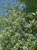 Fleurs de cerisier d'oiseau image stock