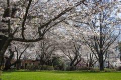 Fleurs de cerisier dans la DM de Kenwood Photos libres de droits