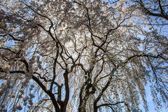 Fleurs de cerisier dans la DM de Kenwood Photos stock