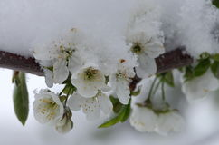 Fleurs de cerisier dans la neige Image stock