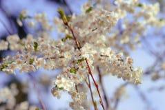 Fleurs de cerisier dans le blanc Image stock