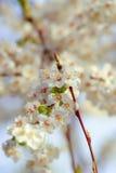 Fleurs de cerisier dans le blanc Image libre de droits