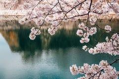 Fleurs de cerisier dans le château d'Osaka, Japon photographie stock libre de droits