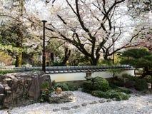 Fleurs de cerisier dans le jardin japonais photos libres de droits