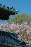 Fleurs de cerisier dans le palais impérial de Tokyo photographie stock