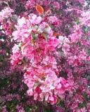 Fleurs de cerisier dans le printemps Photo stock