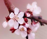 Fleurs de cerisier dans le rose Photos libres de droits