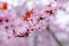 Fleurs de cerisier dans le rose coloré Photos libres de droits