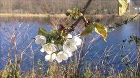 Fleurs de cerisier dans le vent clips vidéos
