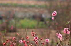 Fleurs de cerisier dans un jardin image stock