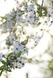 Fleurs de cerisier de branche éclairées à contre-jour par coucher du soleil photographie stock