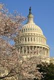 Fleurs de cerisier de capitol des USA Photos stock