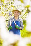 Fleurs de cerisier de ciseaux de branche de jardinier le soleil Image stock