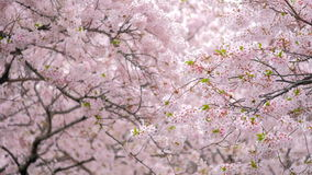 Fleurs de cerisier de floraison de Sakura banque de vidéos