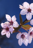 Fleurs de cerisier de Japonais de Sakura Photos stock