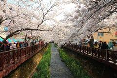 Fleurs de cerisier de Jinhae image libre de droits