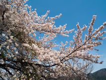 Fleurs de cerisier de Kawaguchigo Photo stock