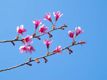 Fleurs de cerisier de l'Himalaya sauvages image libre de droits